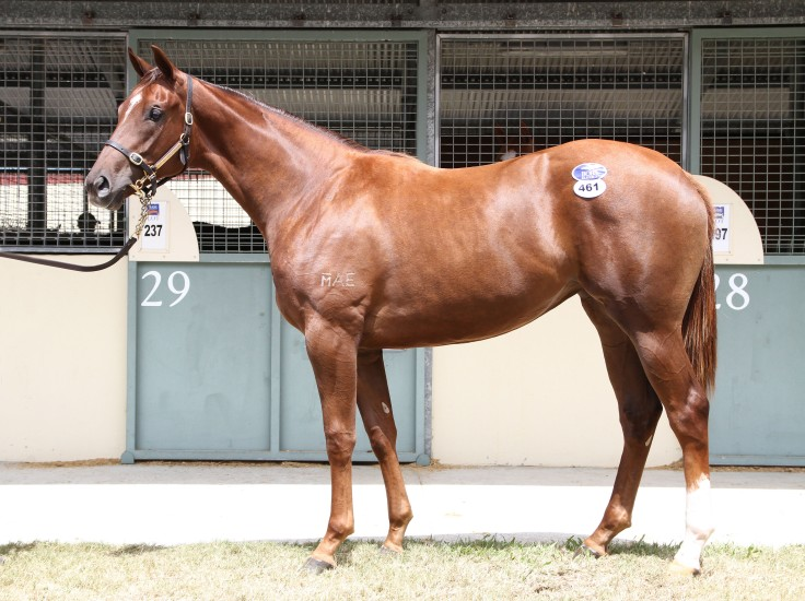 Lot 461,Sebring x Mrs Slocombe_08-01-2016_GEN_Magic Millions Gold Coast__1564