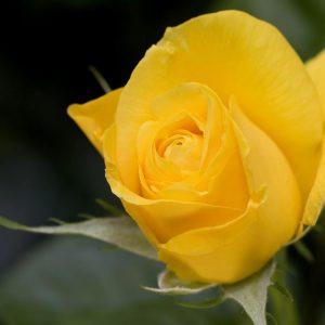 Golden-Rose-300x300
